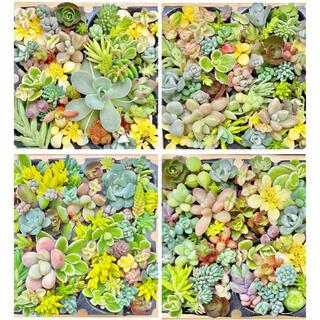 多肉植物 おまかせ30種セダムセット.☆.。.:*・°(その他)