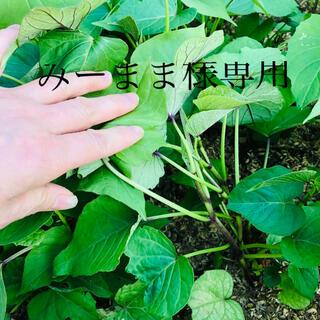パープルスイートロード芋苗50本(野菜)