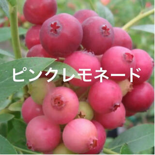 レア! たっぷり実つき♡ ピンクレモネード ブルーベリー 苗木 鉢ごと♡ラクマ便(フルーツ)