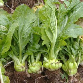 2020年無農薬栽培 ザーサイ 種 100粒(野菜)