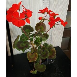 ゼラニウム 抜き苗 赤に近いオレンジ色  現品(その他)