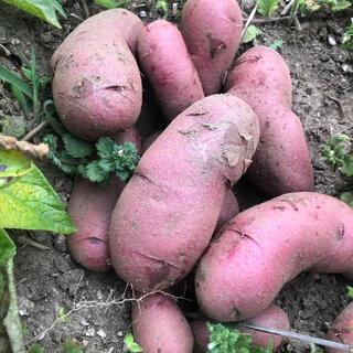 山梨県産無農薬野菜 ピンクのノーザンルビーポテト1.2キロ 送料込(野菜)