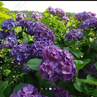 紫陽花 アジサイ ピンク→紫挿し木用 挿し穂 カット苗(その他)