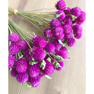 花材在庫一掃❗️千日紅ドライフラワー枝付50本★大粒できれいです(ドライフラワー)