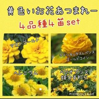 タイムセール 黄色いお花 4品種4苗set(その他)