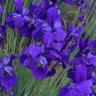 紫 菖蒲 宅急便サイズ 60〜80サイズ(その他)