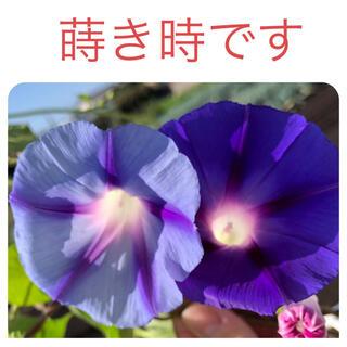 朝顔 ヘーゼルウッドの種 ブルー20粒 水色20粒(その他)