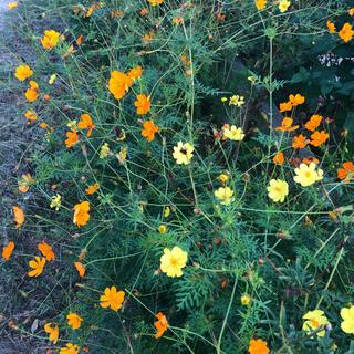 黄花オレンジコスモスと紫式部の種セット(その他)