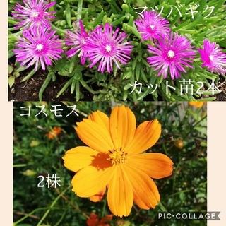 マツバギク コスモス 苗(その他)