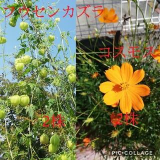 フウセンカズラ コスモス 苗(その他)