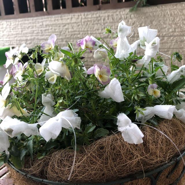 ビオラの種 50粒以上 ハンドメイドのフラワー/ガーデン(プランター)の商品写真