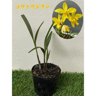 コウトウシラン 黄色い花 希少 シラン 沖縄離島産(その他)