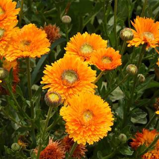 【即購入歓迎】カレンデュラ 金盞花 オレンジ×イエロー ミックス種子 30粒(プランター)