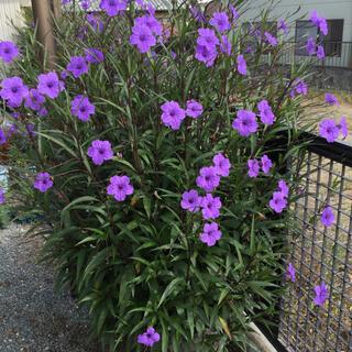 花苗《紫ルエリア 挿し穂3本》お庭がオシャレに❣️(プランター)