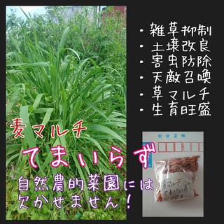 麦マルチ てまいらず 緑肥 マルチ 雑草抑制 害虫防除 野菜の種 土壌改良 種子(野菜)