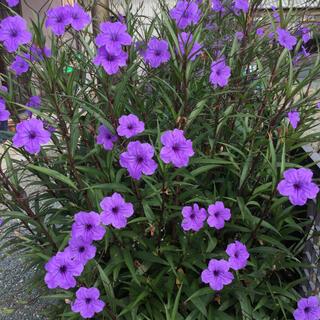 花苗 《紫ルエリア 挿し穂3本》お庭がオシャレに❣️(プランター)