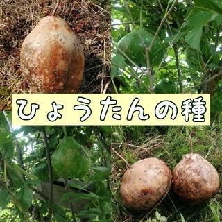 【自然農・自家採種】ひょうたんの種 カーリング型 大きめ(野菜)