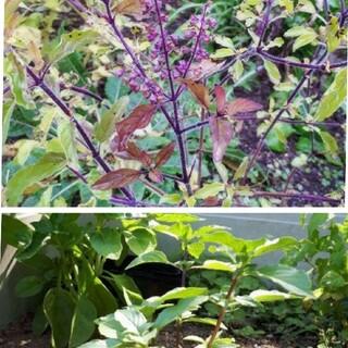 クリシュナトゥルシーとホーリーバジルの種セット(野菜)