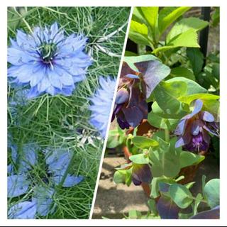 ニゲラ(ブルー)種子100粒 セリンセマヨール 種子15粒(その他)