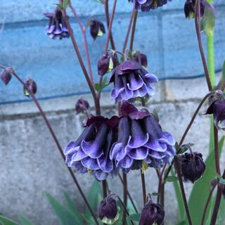 オダマキ 濃い紫と白のタワー 20粒(その他)