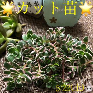 多肉植物❤︎トリカラー❤︎カット25本♪(その他)