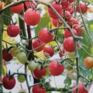 カラフルトマト 種 100粒(野菜)