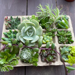 多肉植物 寄せ植えセット 17種類 30個以上(その他)