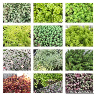 多肉植物★セダム♪13種類★寄せ植えや雑草対策・グリーンカーペットに‼︎(その他)