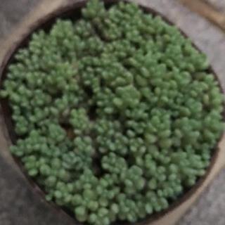 多肉植物 パープルヘイズ (その他)