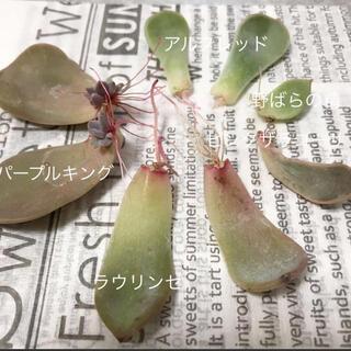 多肉植物 葉挿しセット(その他)