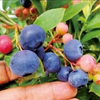 美味しい果実☆大粒系ブルーベリーの挿し穂5本+おまけ ラビットアイ ハイブッシュ(プランター)