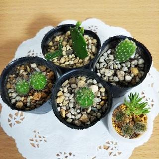 ミニサボテン 3種 ちまちま植え 多肉植物(その他)