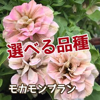 ♥️えいじぃ様ご専用♥️ ペチュニア挿し芽苗(その他)