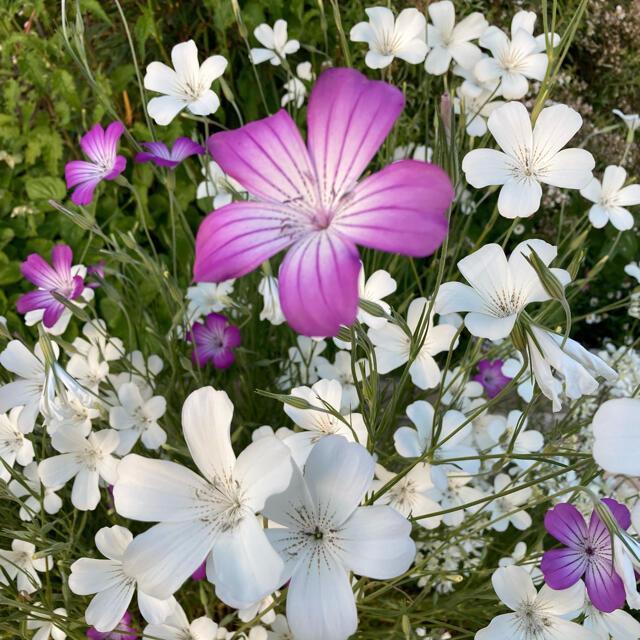 アグロステンマ 種 100粒 紫&白混合 ハンドメイドのフラワー/ガーデン(その他)の商品写真