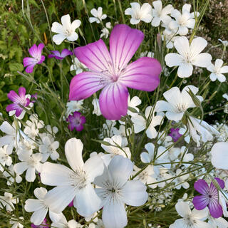 アグロステンマ 種 100粒 紫&白混合(その他)