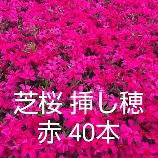 芝桜 挿し穂 赤 40本(その他)