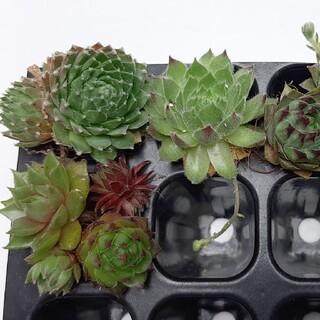 多肉植物 センペルビウム10種(その他)