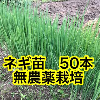 ネギ苗 無農薬栽培‼️(野菜)