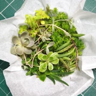 多肉植物 実物 (その他)