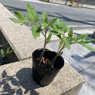 イエローミミ黄色いトマト4本(野菜)