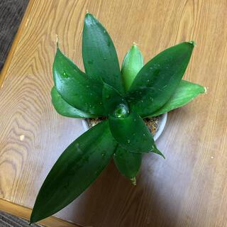 多肉植物★サンスベリア ピュアグリーン(プランター)