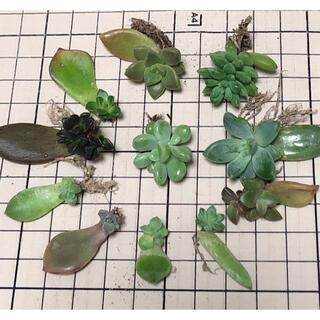 多肉植物 葉挿し セット(その他)