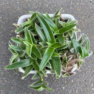 多肉植物 観葉植物 銀毛冠 (その他)