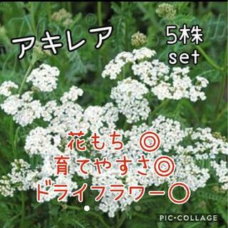 アキレアノコギリソウ 5株set(その他)