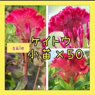 ケイトウ 小苗×50苗(その他)