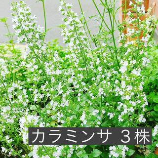 3株 カラミンサ  ハーブ 根付き抜き苗  (その他)