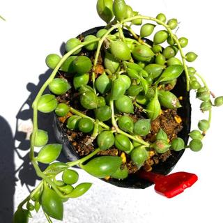 多肉植物✴︎ピーチネックレス 抜き苗(プランター)