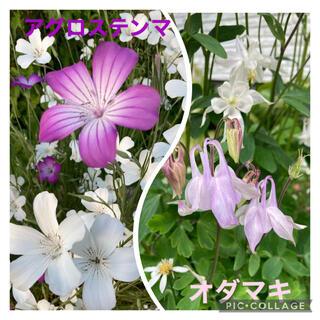 【9・10月植えどき‼️】アグロステンマ  オダマキ 種 各100粒(その他)