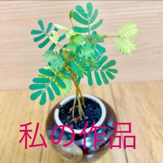 銀葉アカシアミモザ種子30粒 大人気商品(その他)