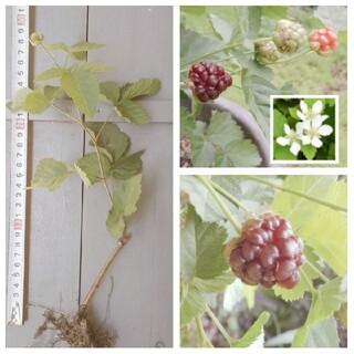 木イチゴ ブラックベリー 株分け(7.5cmポット) トゲなし¥350(その他)